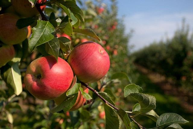 Alternativa de manzanas Premium