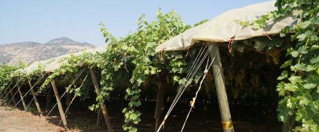 ¿Cómo modificando el microclima del cultivo de la uva?