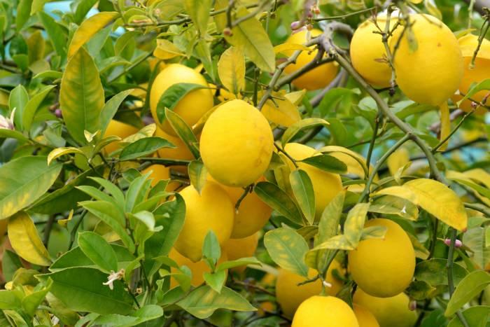 Chile realiza los primero envíos de limones a Estados Unidos