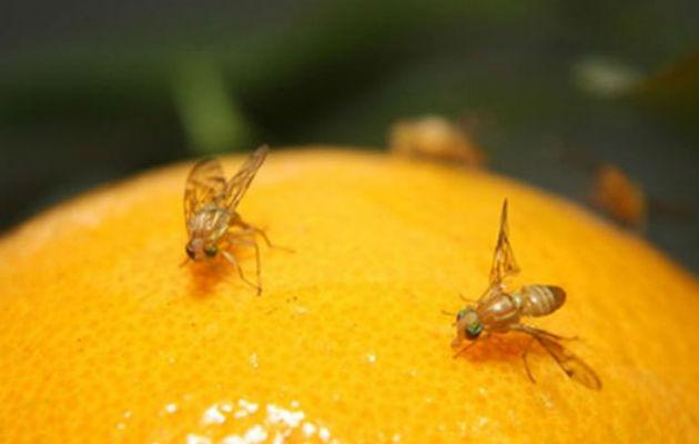 Trabajos para controlar mosca de la fruta