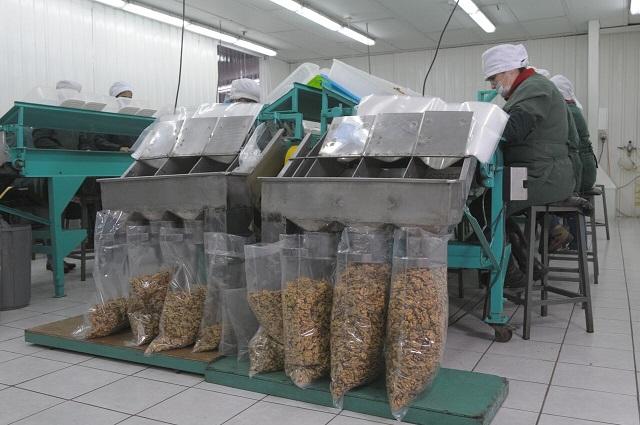Protagonistas en la cosecha de las nueces