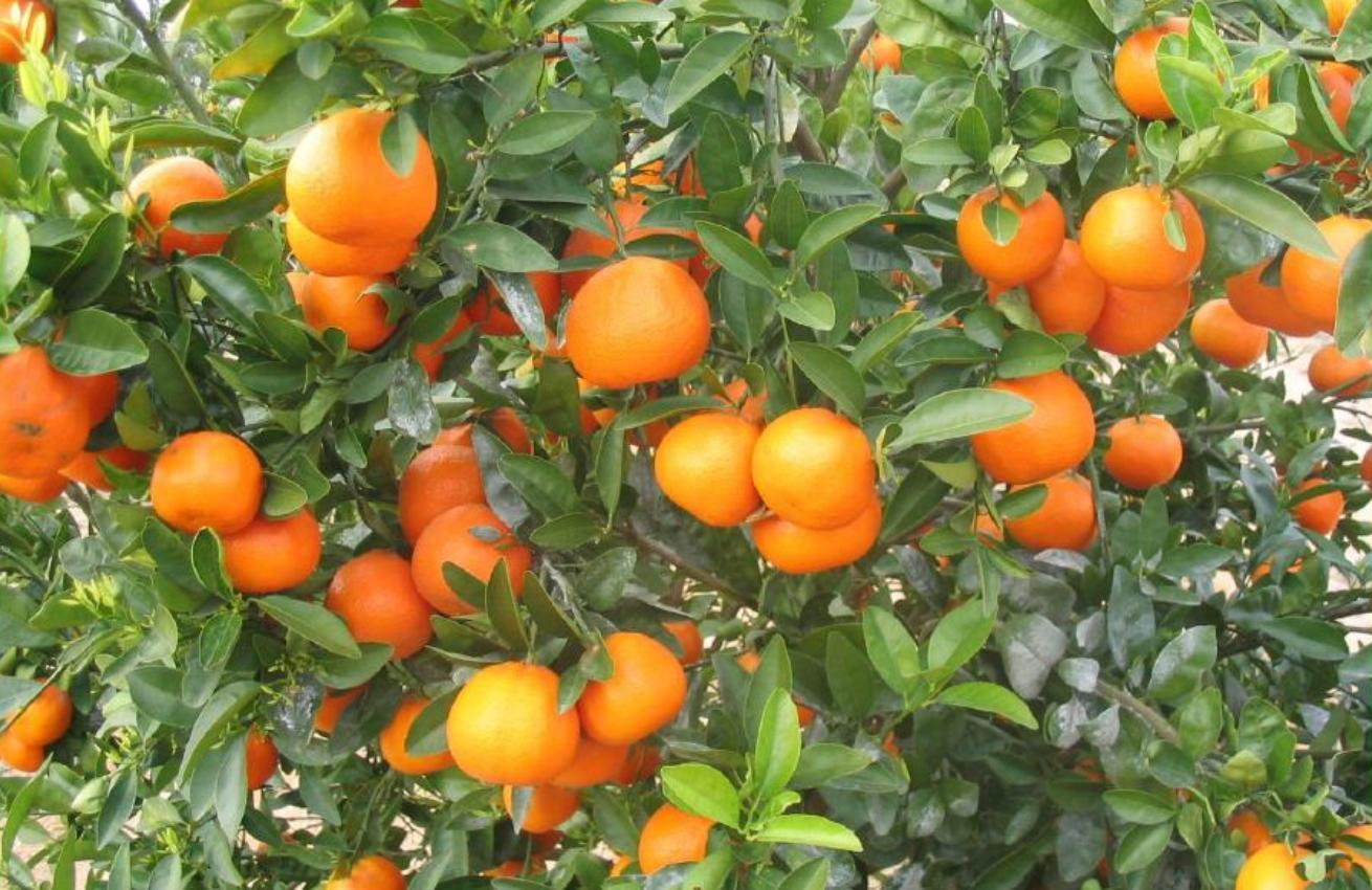 Primera exportación de mandarinas W. Murcott