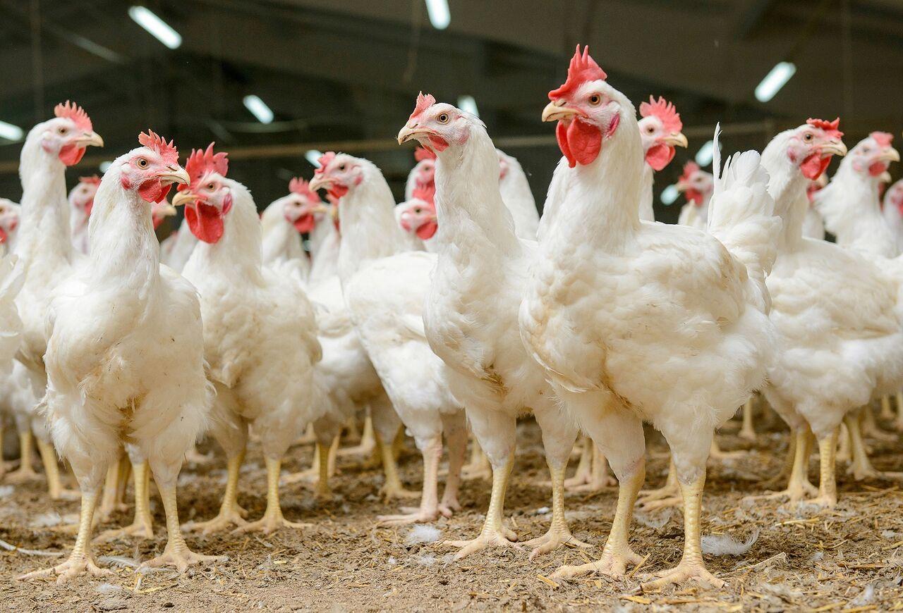Doble riesgo en enfermedades avícolas