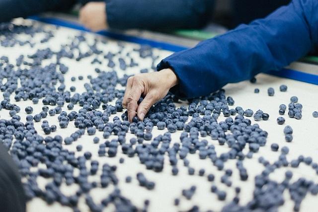 ¿Ingreso de arándanos peruanos afecta a los productores nacionales?