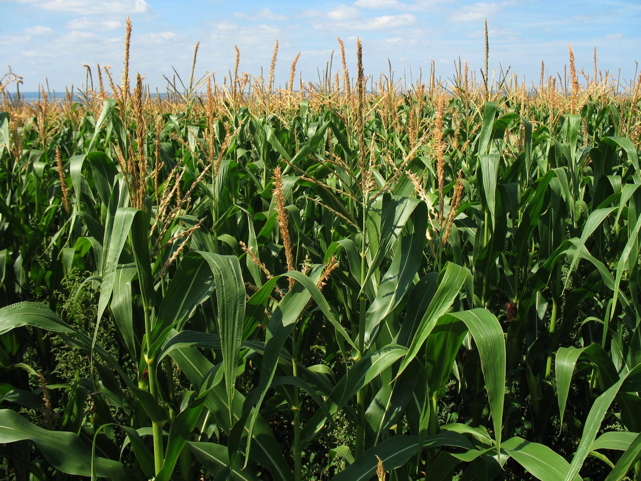 Los grandes desafíos del cultivo del maíz
