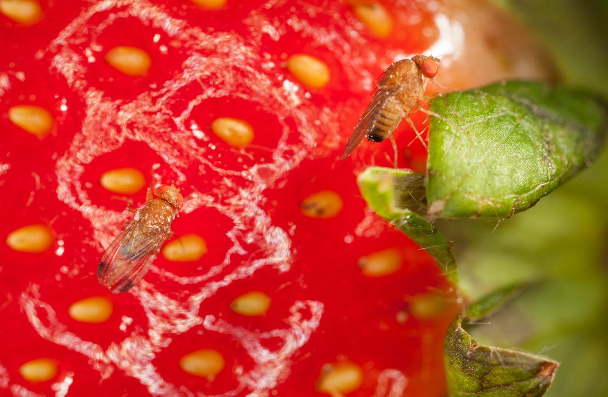 Medidas preventivas para la Drosophila suzukii