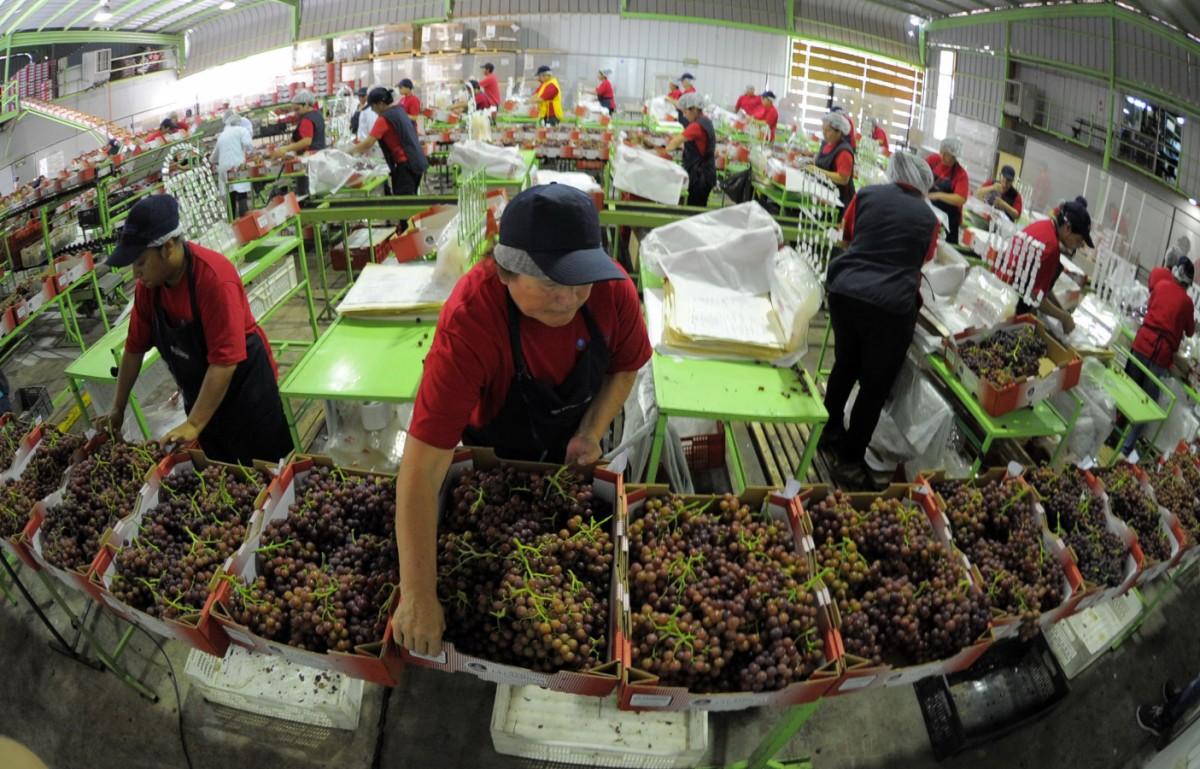 En búsqueda de fortalecer la industria de la uva de mesa