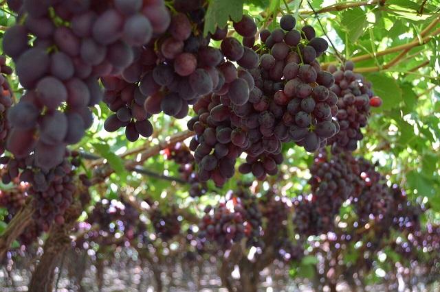 Temporada de exportación de uva de mesa finaliza con un aumento de un 4%