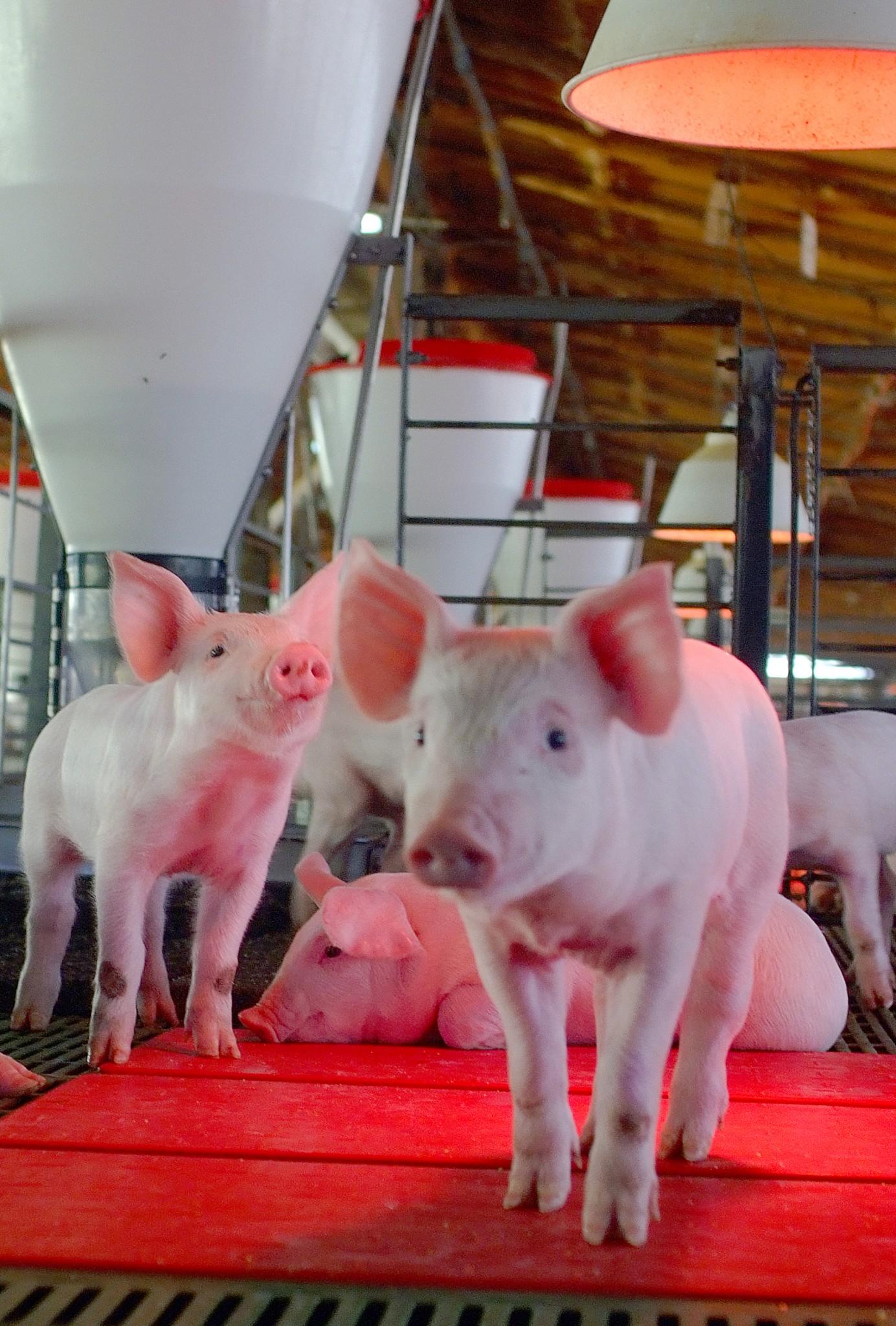 Análisis de la industria de carne de cerdo