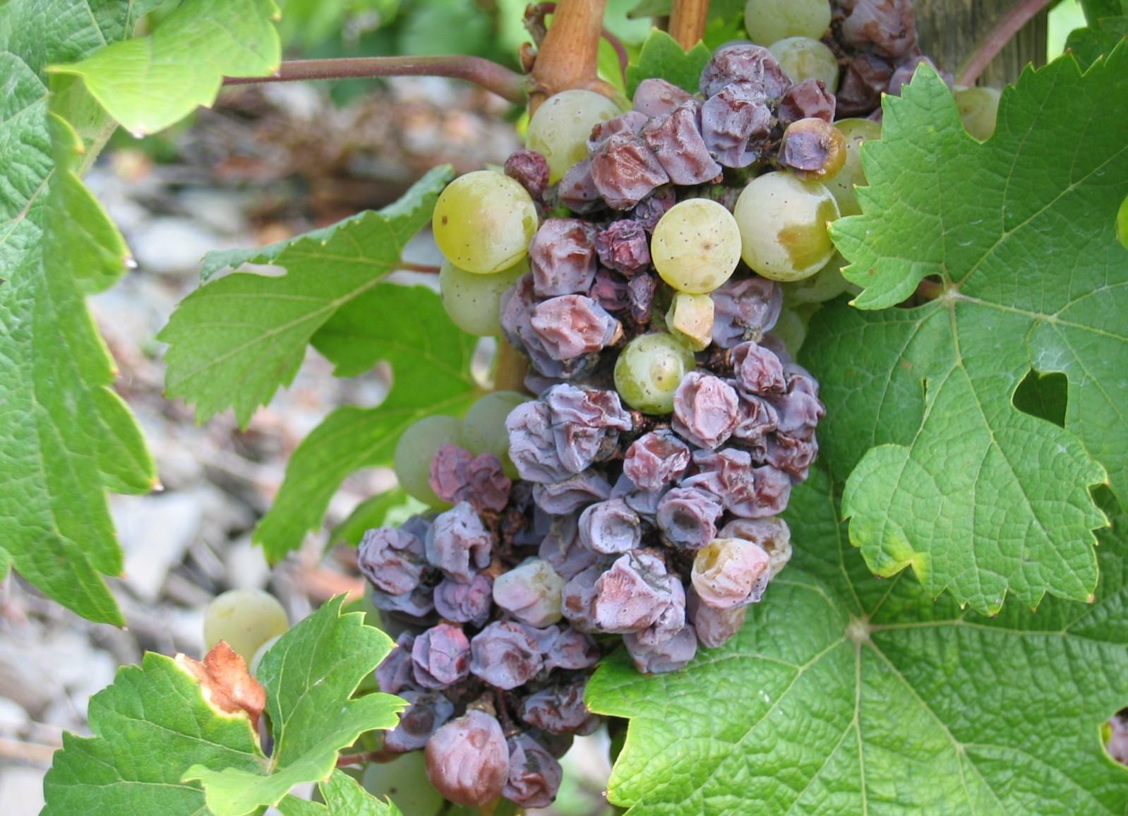Proponen un fungicida natural para industria del vino