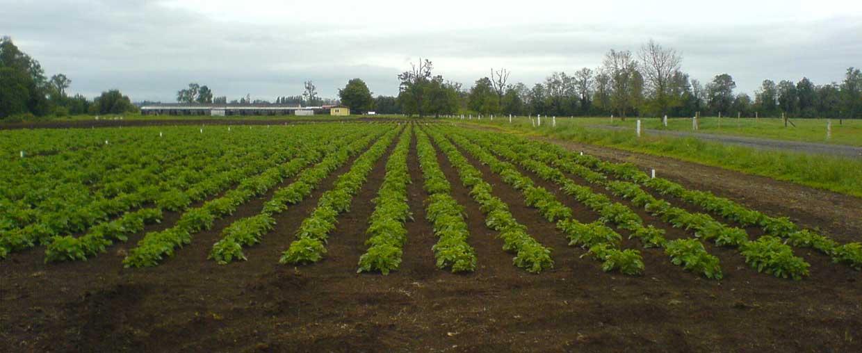 Especialización productiva en el cultivo de la papa