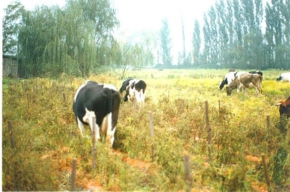 vacas con tomate