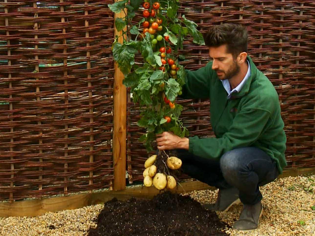 Una planta que produce papas y tomates