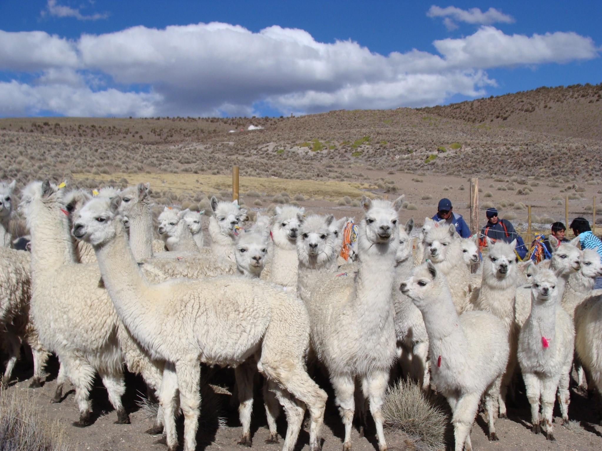 FIA potencia ganadería de camélidos en la zona norte