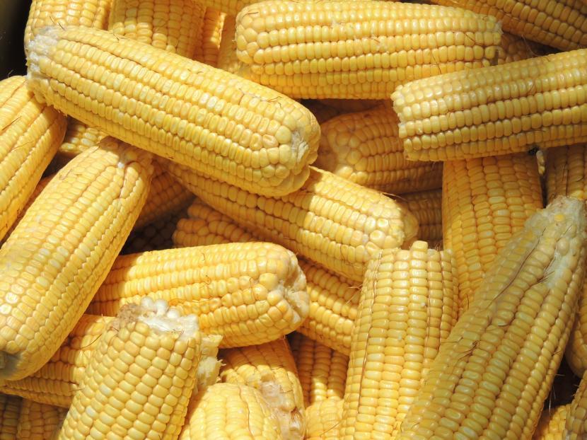 Un láser para clasificar el maíz en segundos