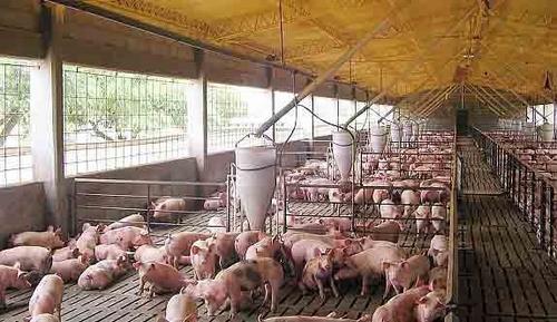 El quillay podría prevenir enfermedades virales en cerdos