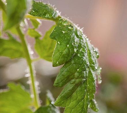 Estimulan las defensas naturales de plantas con una sustancia semejante a la aspirina