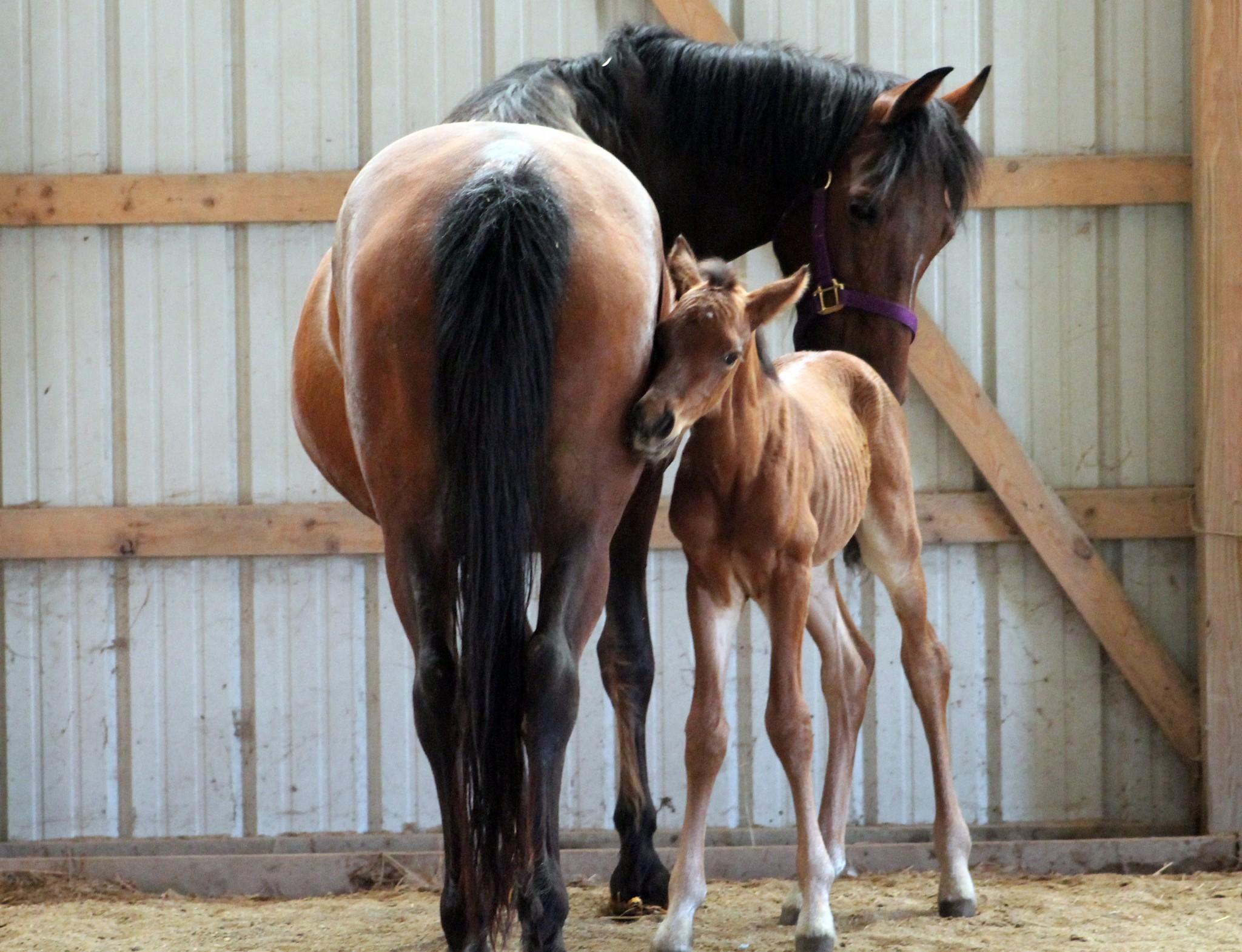 Logran elegir el sexo de los caballos desde embrión