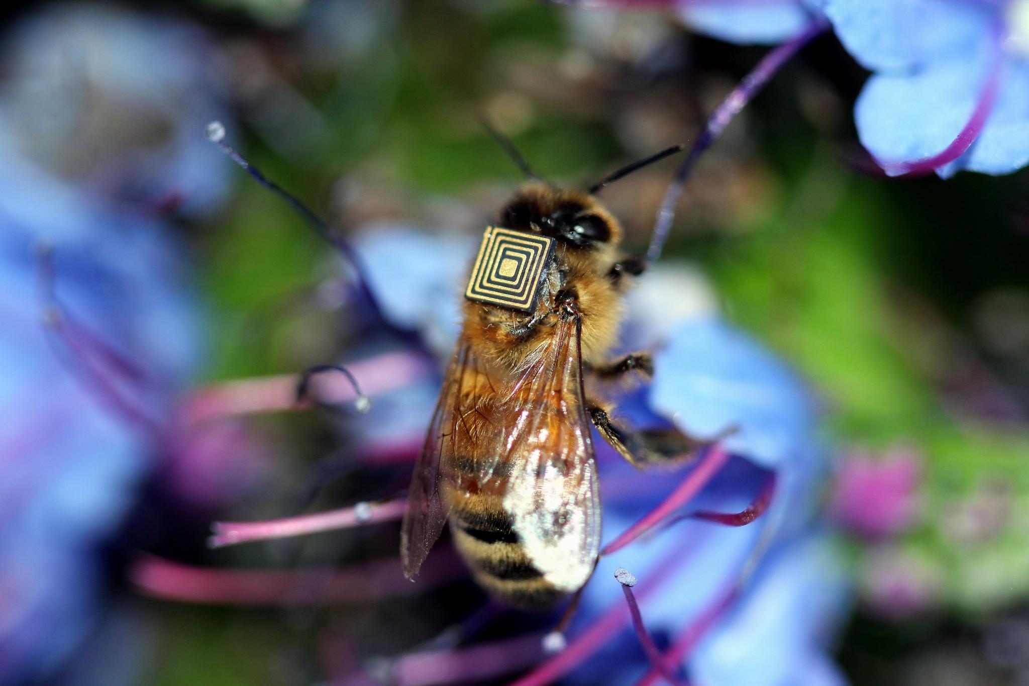 Microsensores para estudiar el comportamiento de las abejas