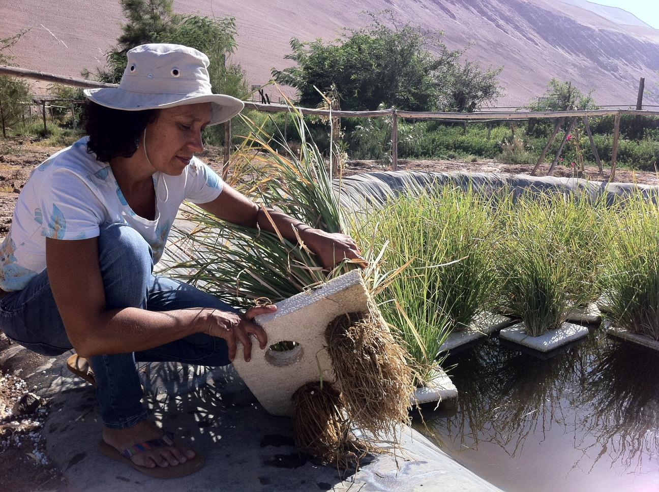 Realizan primer riego de cultivos con agua purificada a través del Sistema Vetiver