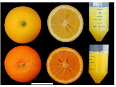 Modificación genética en naranjas para obtener 36 veces más β-carotenos