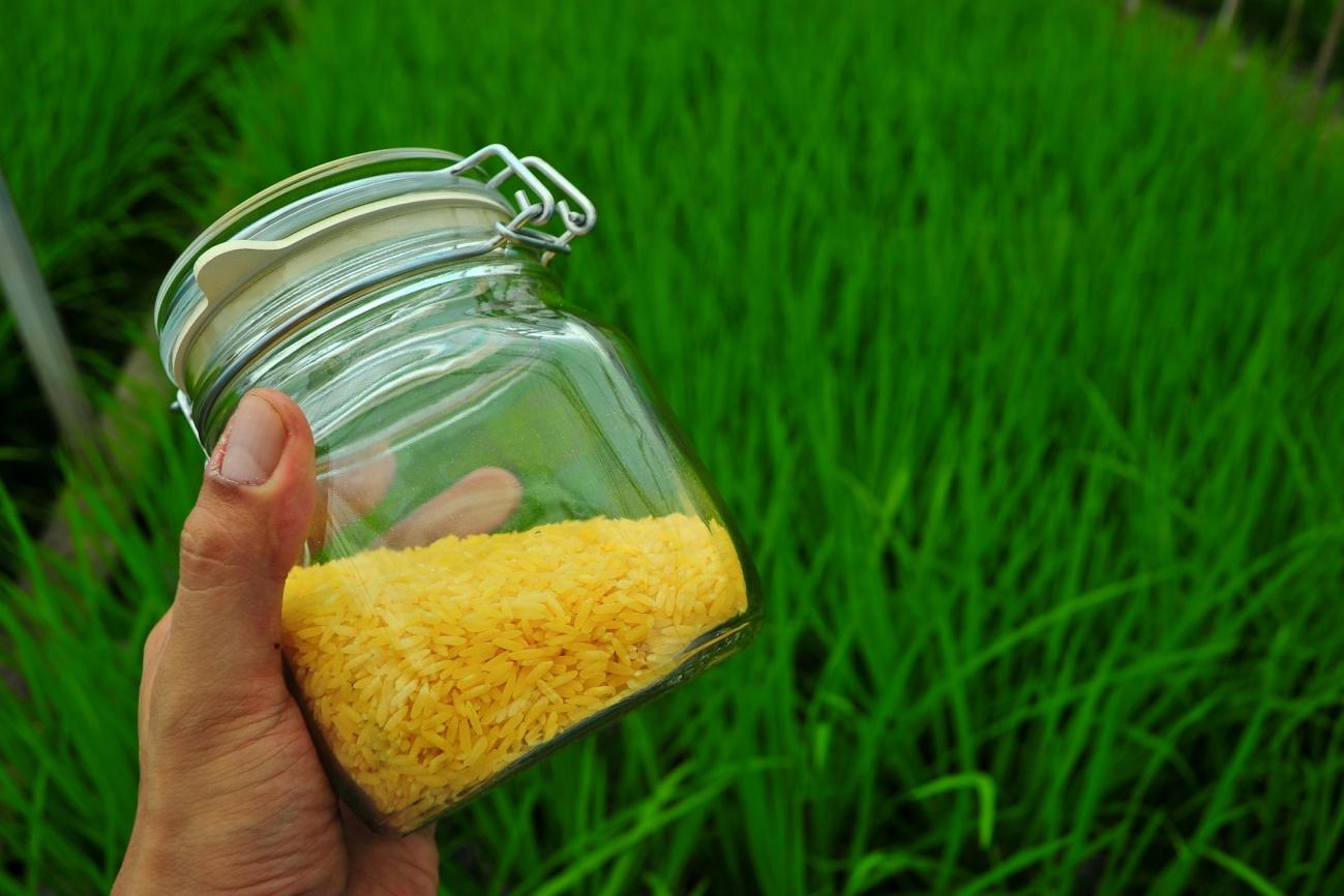 Autorizan el consumo de arroz transgénico