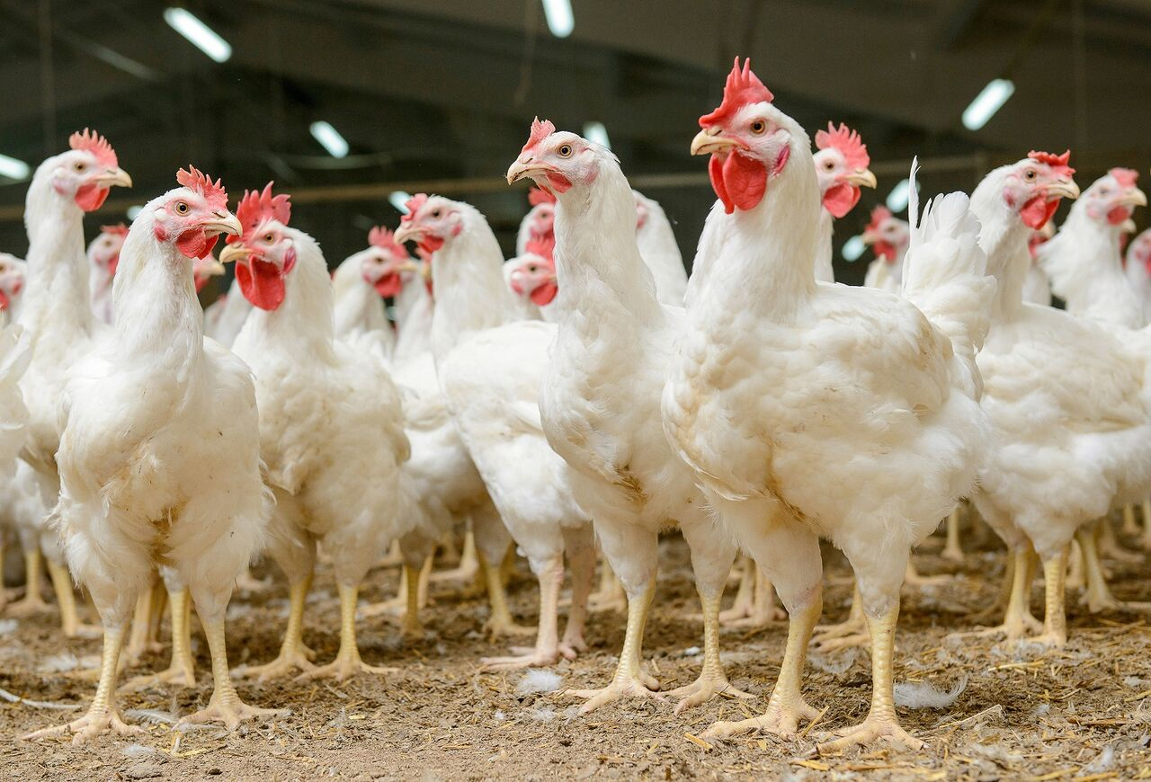 Avicultura mundial presenta optimismo y desafíos