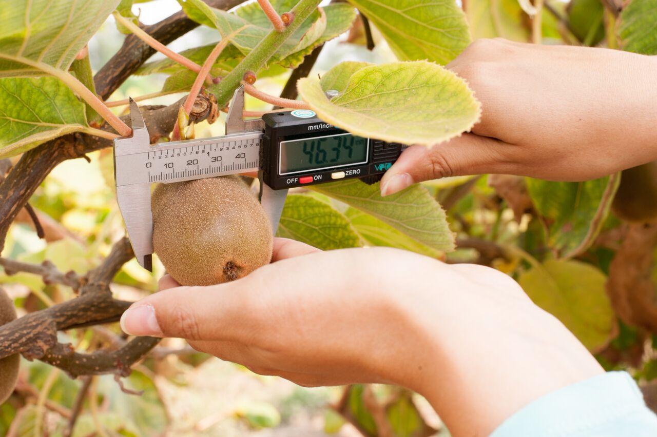 Ajuste de carga y riego son labores fundamentales para obtener  kiwi de alta calidad