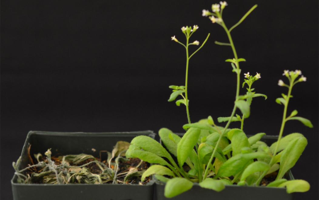 Reprogramar plantas para volverlas resistentes a la sequía