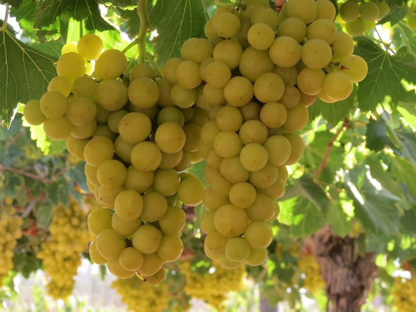 Nueva variedad de uva podría llegar al mercado nacional