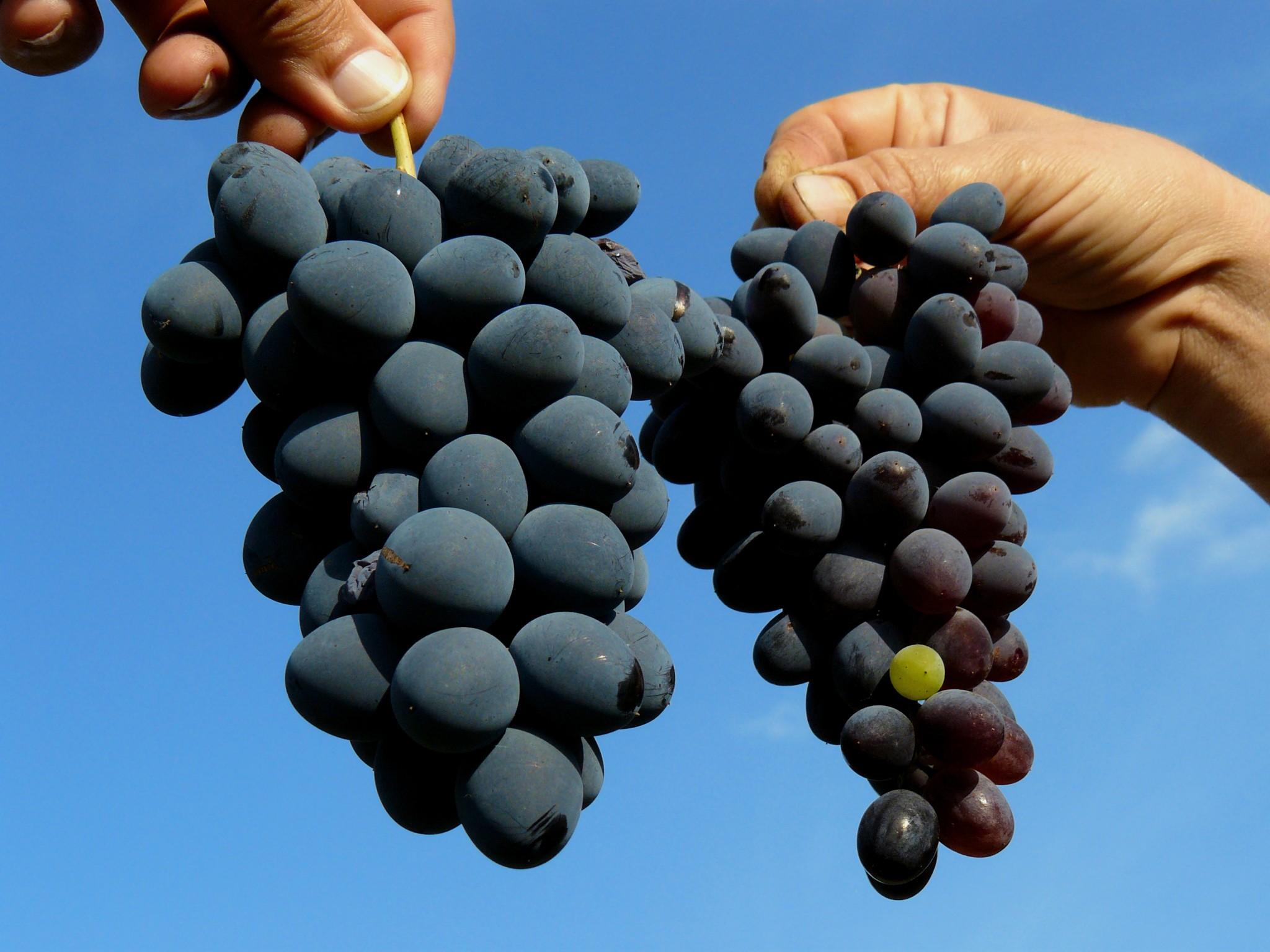 Frutos más grandes y resistentes gracias a cristales de hormona vegetal