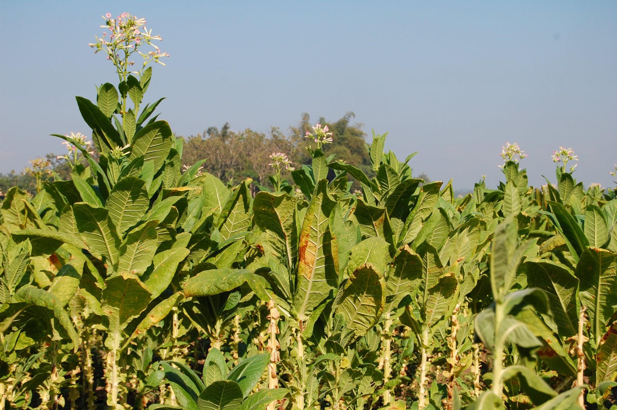Usar plantas de tabaco para elaborar biocombustibles en vez de cigarrillos
