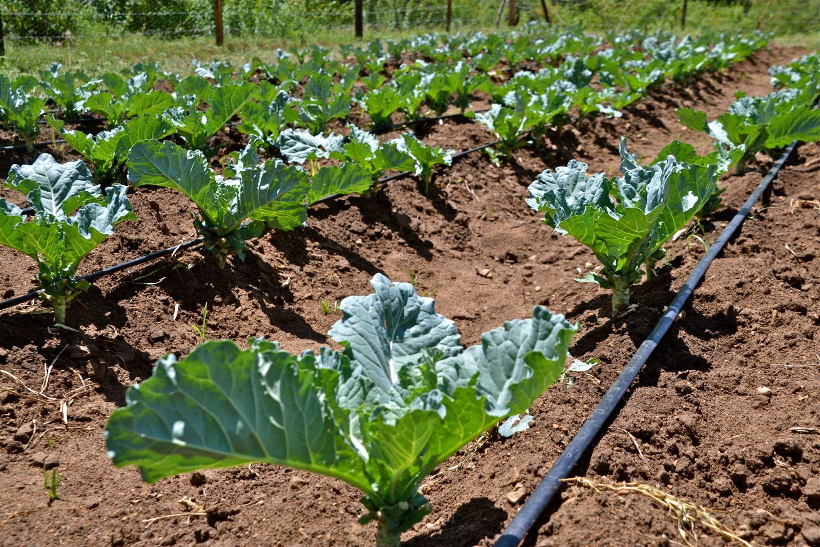 El uso de agua ozonizada en la agricultura incrementa hasta un 40% la productividad