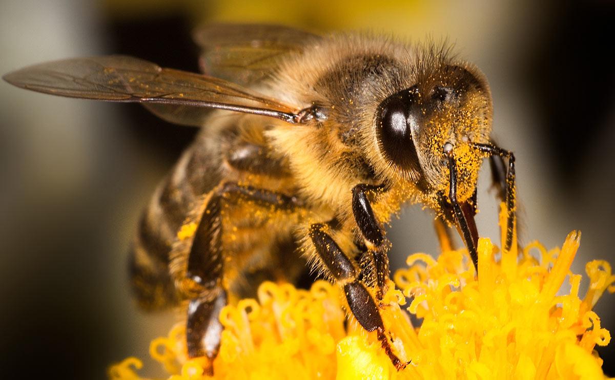 """Encuentran que abejas reinas """"vacunan"""" al resto de la colmena"""
