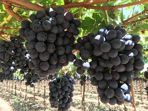 Viento a favor en la producción de uvas