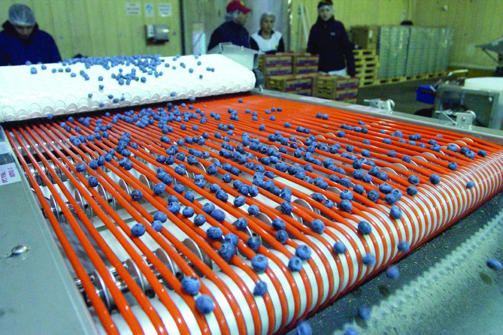 Exportación de arándanos llega a las 107 mil toneladas