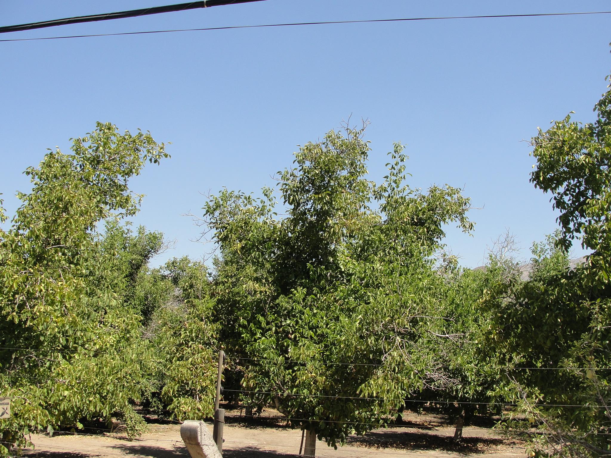 Productores de nueces obtendrían mejores resultados con una mejor gestión del agua
