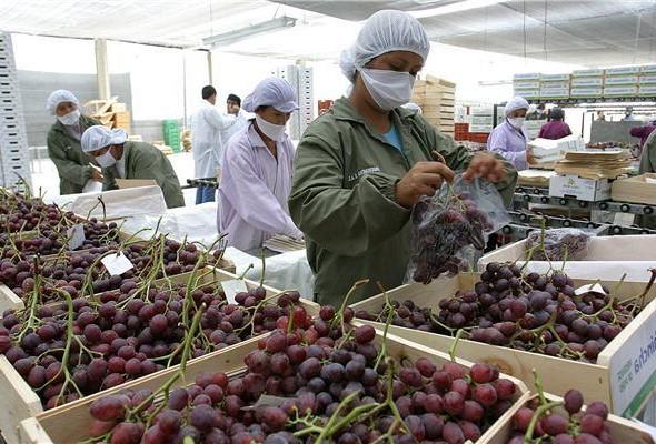 Perú presentó una baja en la exportación de uva de mesa