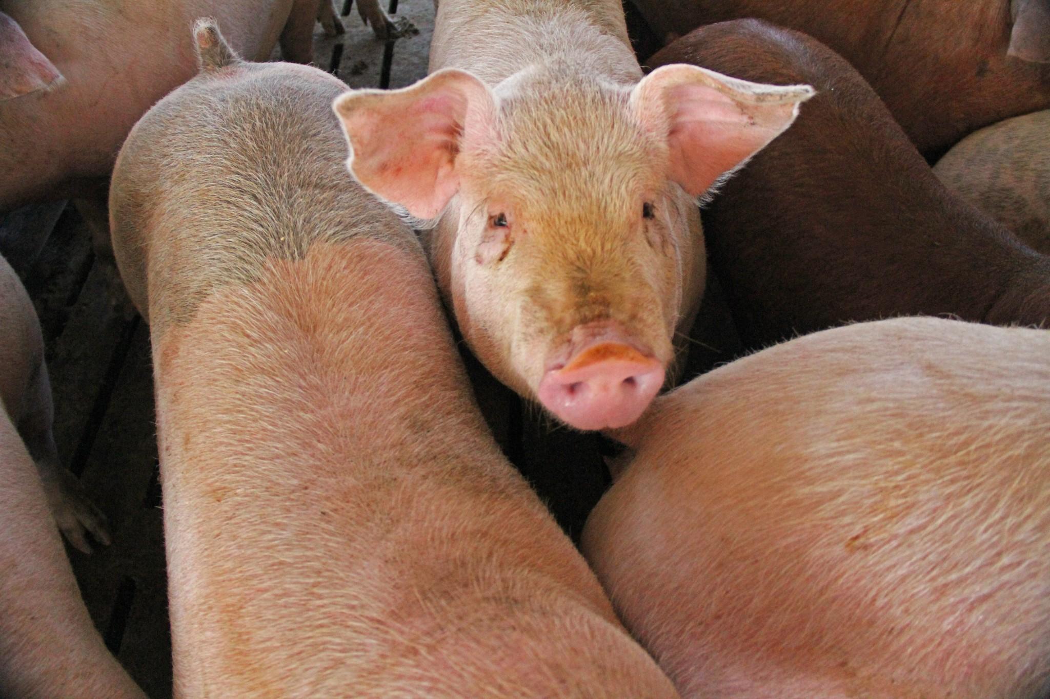"""Logran reducir un 28% el colesterol """"malo"""" en cerdos"""