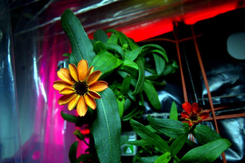 Floreció una planta de zinnia en la Estación Espacial Internacional