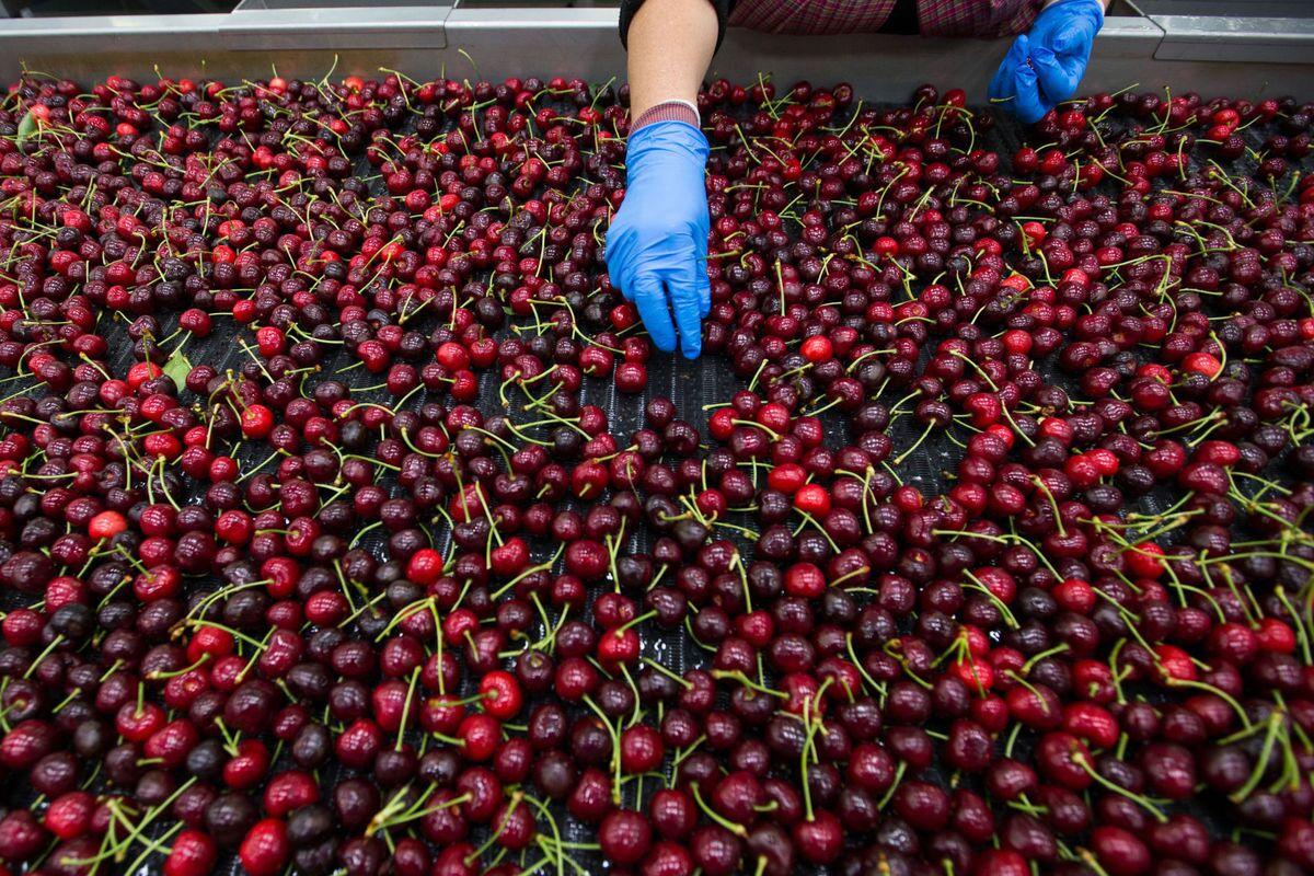 Cerezas: El camino que deben seguir los productores los próximos años