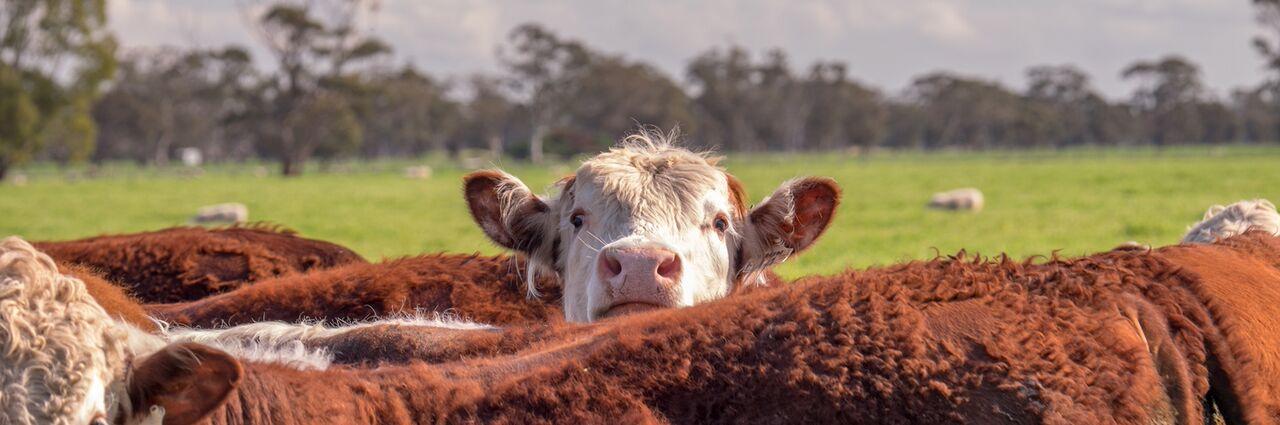 3 planteamientos de la ganadería Chilena