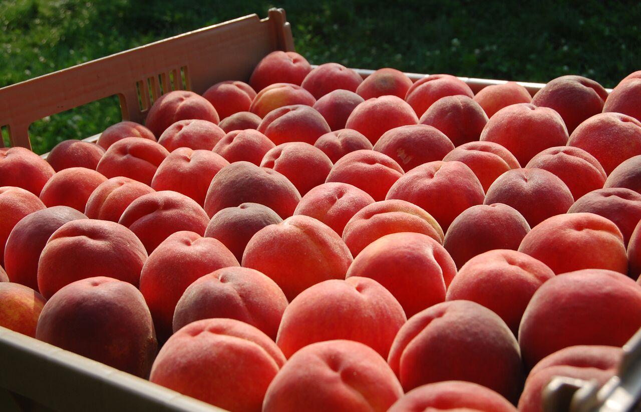 """Gabino Reginato: """"debiéramos tener una línea completa de variedades que permita ofrecer durante toda la temporada nectarines de alta calidad"""""""