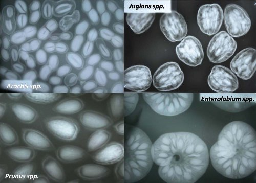 Usan radiografías para determinar la calidad de las semillas