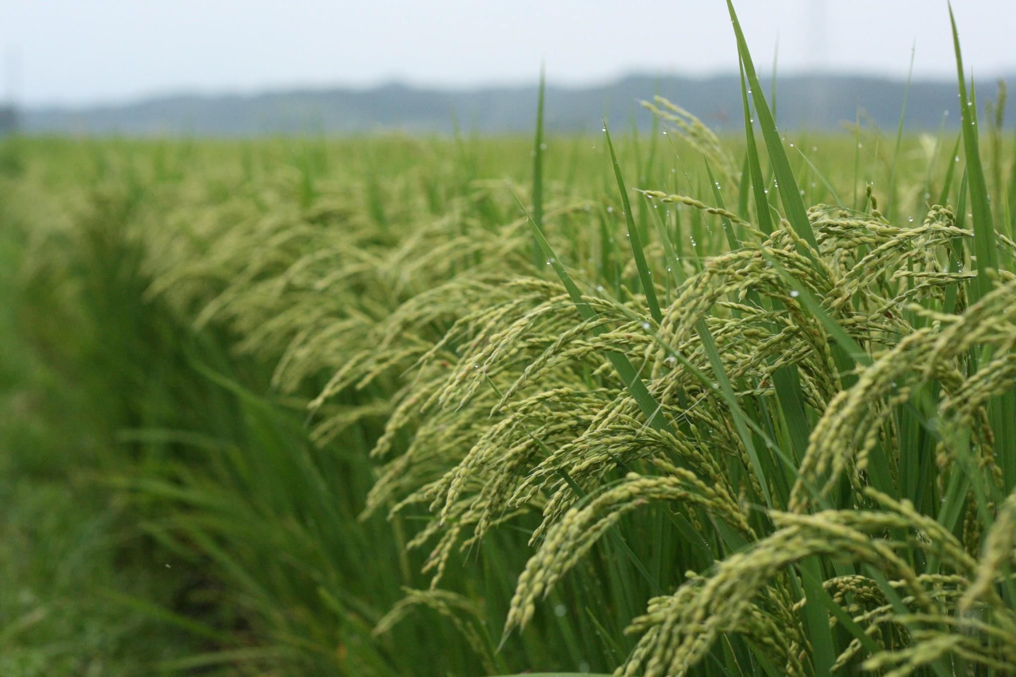 Secuenciación del genoma del arroz abre paso a múltiples investigaciones