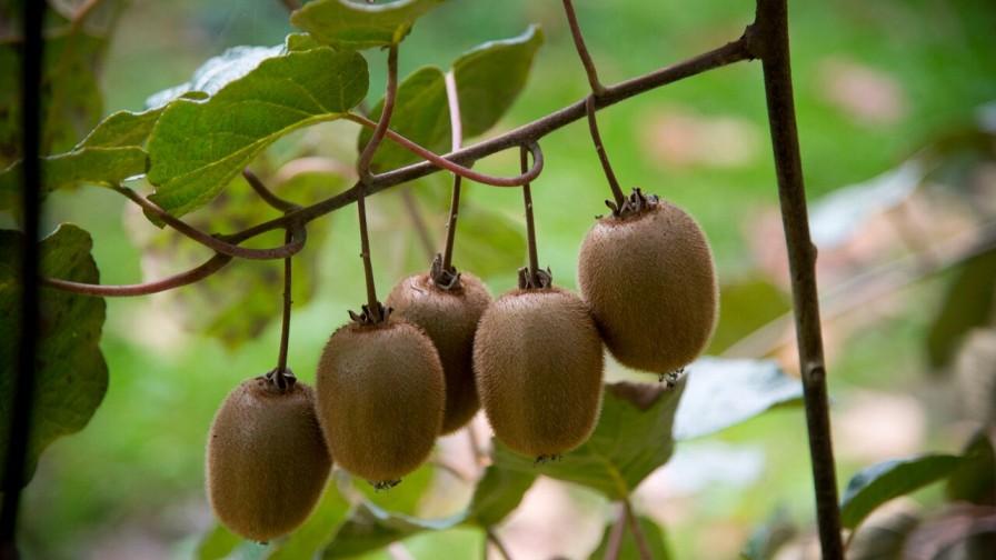 Nuevas oportunidades para las exportaciones de kiwis en India