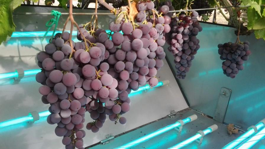 Aumento de las defensas en uva de mesa utilizando luz ultravioleta
