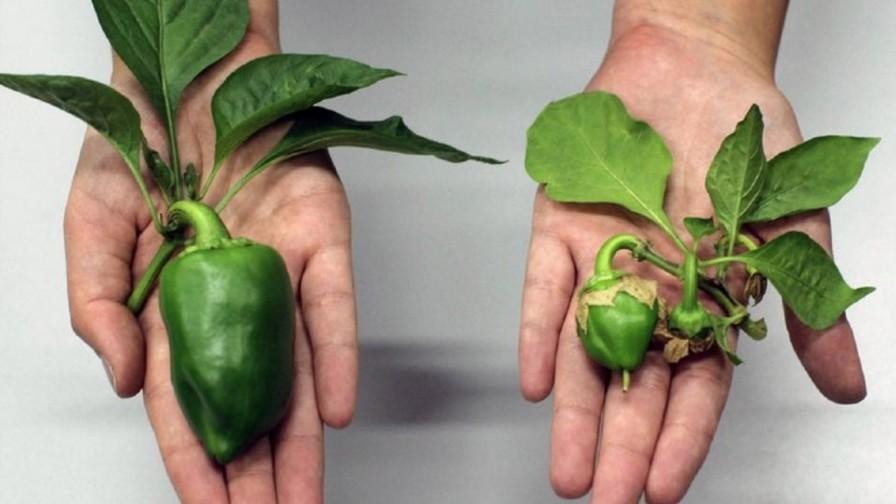 Un biofertilizante que hace crecer frutas al doble de su tamaño