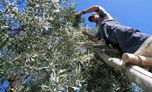 Determinan el uso eficiente del agua de riego en plantaciones de olivo