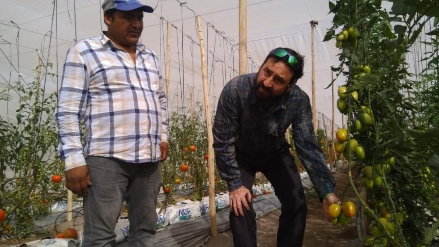 Presentan nueva variedad de tomates de Azapa